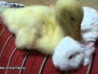 Kaczki i króliki