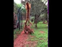Wyskok tygrysa w zwolnionym tempie. NIEWIARYGODNE