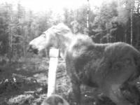 Mama łosia broni swojego młodego przed głodnymi wilkami