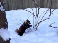 Panda pierwszy raz widzi snieg