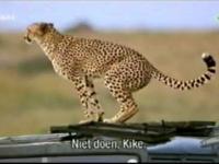 Atak geparda na ludzi