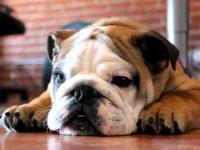 Głos angielskiego bulldoga