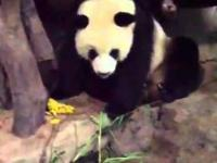 Przyjaciel pissing Panda