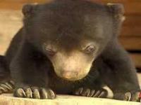 Zasypiający niedźwiadek