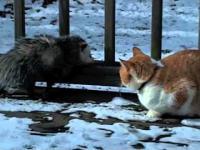 Walka gigantów - Opos vs Kot