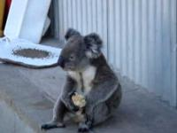 Koala jedzący jabłko