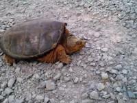 Atak zółwia