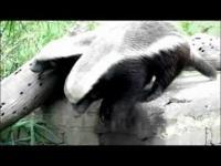 Honey Badger dubstep dance