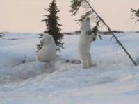 Zabawa misiów polarnych