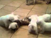 Kot z psim zawrotem głowy