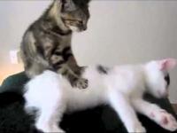 Kociak masuje kotkę