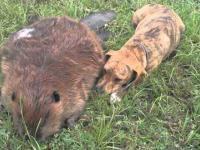 Pies opłakuje śmierć swojego przyjaciela - bobra