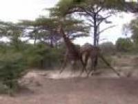 Pojedynek żyraf