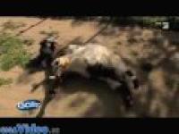 Upadające kozy - Galileo