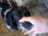 Pies włbrłelppłepłełe