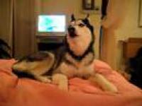 Pies Husky mówiący