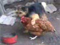 Timek i jego kura