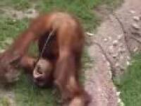 Spragniony orangutan