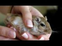 Zdenerwowany Myszoskoczek