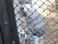 Wulgarna papuga