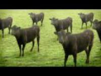 Szalone Krowy