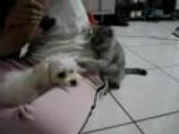 Kot drażni się z psem