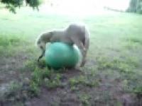 koń gra w piłkę
