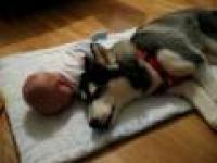Siberian Husky i dziecko razem płaczą