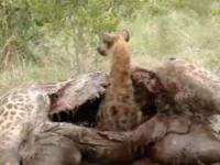 Hiena i martwa żyrafa