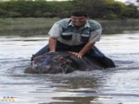 Hipopotam zabija swojego właściciela