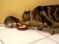 Kot ze szczurem piją mleko