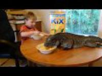 Ogromne Iguana zjada śniadanie przy stole