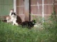 Szczur jeden przyjmie cztery kotów