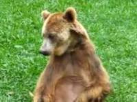 Niedźwiedź przyłapany w niezręcznej sytuacji