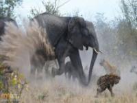 Słoń walczy ze stadem hien