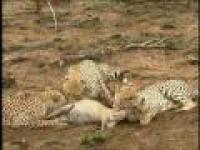 Gepard upolował antylopę, lampart mu odebrał. Jeszcze lwy na dokładkę