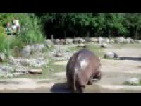Hipopotam puszcza bąka
