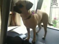 Pies na bieżni
