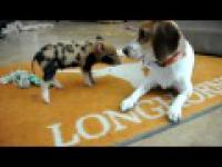 wieprz vs pies