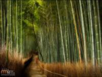 Gaj bambusowy