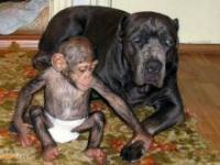 Duży pies zaadoptował szympansa