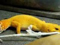 Gekon lamparci obdziera się żywcem ze skóry