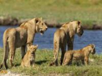 Odwaga lwicy