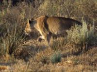 Impala ucieka wprost z paszczy lwicy