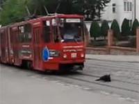 Pies vs tramwaj