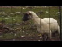 Szalona owca drze morde