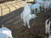 Nadzwyczajna Koza