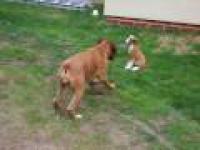Głupi Boxer !!!