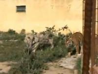 Człowiek lew i tygrys
