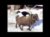 Kot na owce